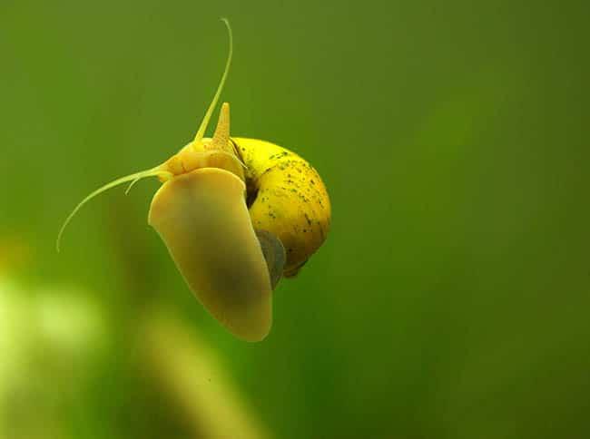 pest snails
