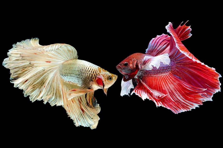 betta fish care tips