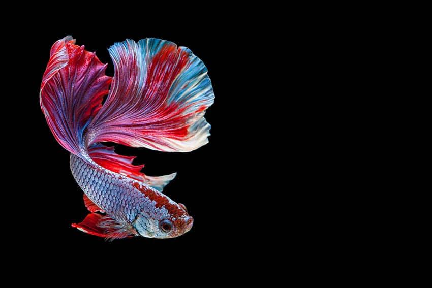 betta fish flashing