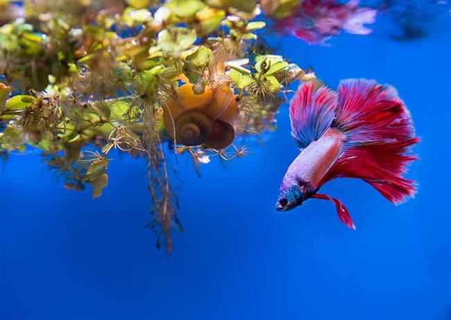 aquarium snail infestation