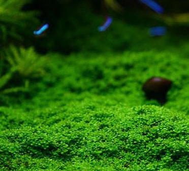 best carpet plants for aquariums