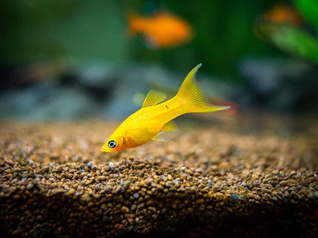 how to tell between a molly and a platy