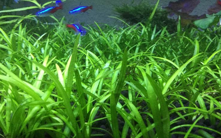 dwarf sag carpeting aquarium plant