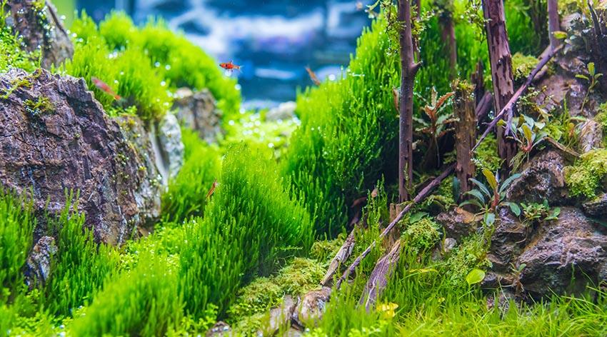 fish tank moss