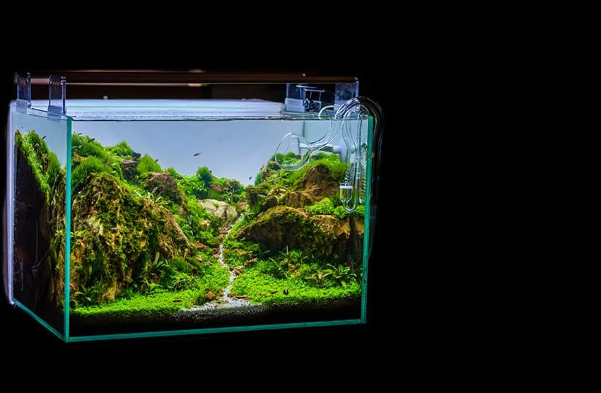 Can Land Moss Grow in Aquariums