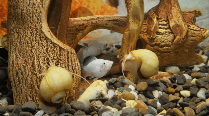 can snails live with goldfish
