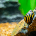 nerite snails and goldfish