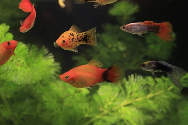 What is a Platy Fish?