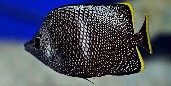 expensive butterflyfish