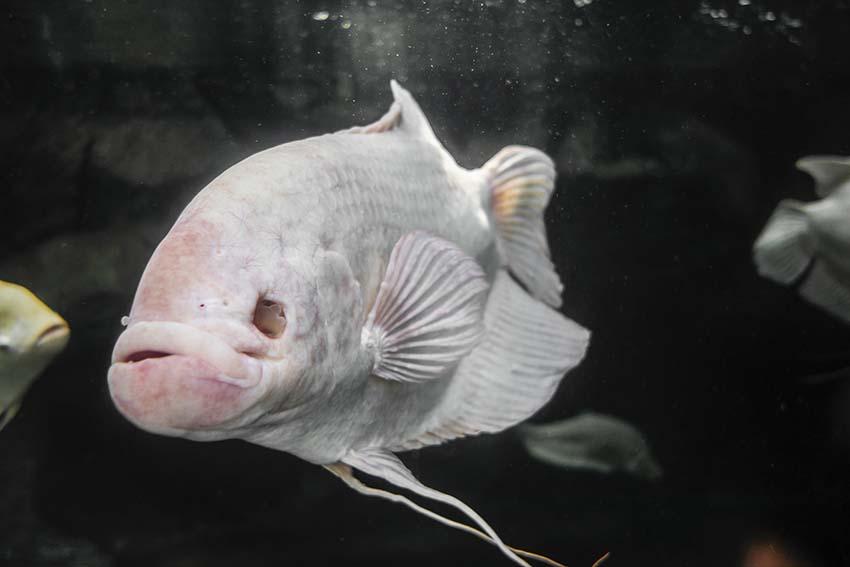 fish with no eyes