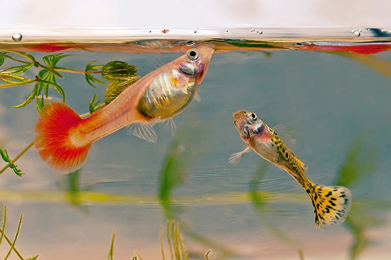 what guppies eat for food
